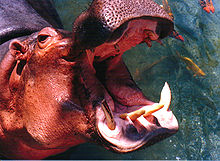 Hippo mouth1.jpg