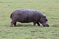 Hippopotamus in Chobe National Park 03.jpg