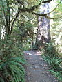 Hoh Rainforest - Olympic National Park - Washington State (9780181485).jpg