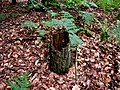 Hollow stump - geograph.org.uk - 870326.jpg