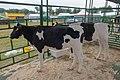 Holstein Friesian cows in Belarus.jpg