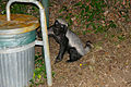 Honey Badger (Mellivora capensis) on the way to the garbage can ... (17180942718).jpg