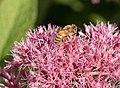 Honeybee in Riverside Park (01558).jpg