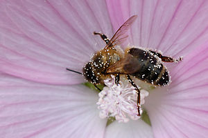 Bee with pollen on flower