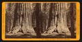 Horse-back Ride through Big Tree (88 ft. circum) Mariposa Co, by John P. Soule 3.png