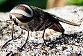 Horse Fly (Tabanus Melanocerus) Photograph By Shantanu Kuveskar.jpg