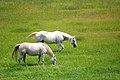 Horses in a field (2587829976).jpg
