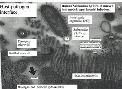 Host-pathogen interface. Human Salmonella in chicken ileum (Original work of Dr R C YashRoy).png