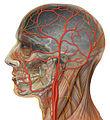 Human head anatomy with external and internal carotid arteries (450142019).jpg