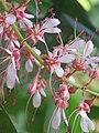 Humboldtia brunonis - Brown's Humboldtia at Peravoor (3).jpg