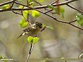 Hume's Warbler (Phylloscopus humei) (34612920770).jpg