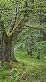Hutebuche4 vordere Seite im Rhönwald.jpg