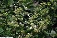 Hydrangea paniculata Tardiva 6zz.jpg