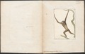 Hylobates variegatus - 1700-1880 - Print - Iconographia Zoologica - Special Collections University of Amsterdam - UBA01 IZ19800106.tif