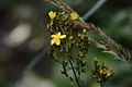 Hypericum hirsutum (8438115311).jpg