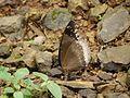 Hypolimnas bolina (Great Eggfly) (3892256767).jpg