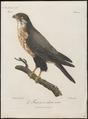 Hypotriorchis ardesiacus - 1796-1808 - Print - Iconographia Zoologica - Special Collections University of Amsterdam - UBA01 IZ18200195.tif