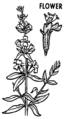 Hyssop (PSF).png