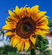 IMG Sonnenblume 8242.jpg