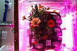 ISS-46 Zinnia flowers in the Veggie facility (4).jpg
