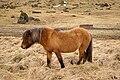 Icelandic Pony2.jpg
