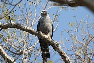 Plumbeous kite species of bird