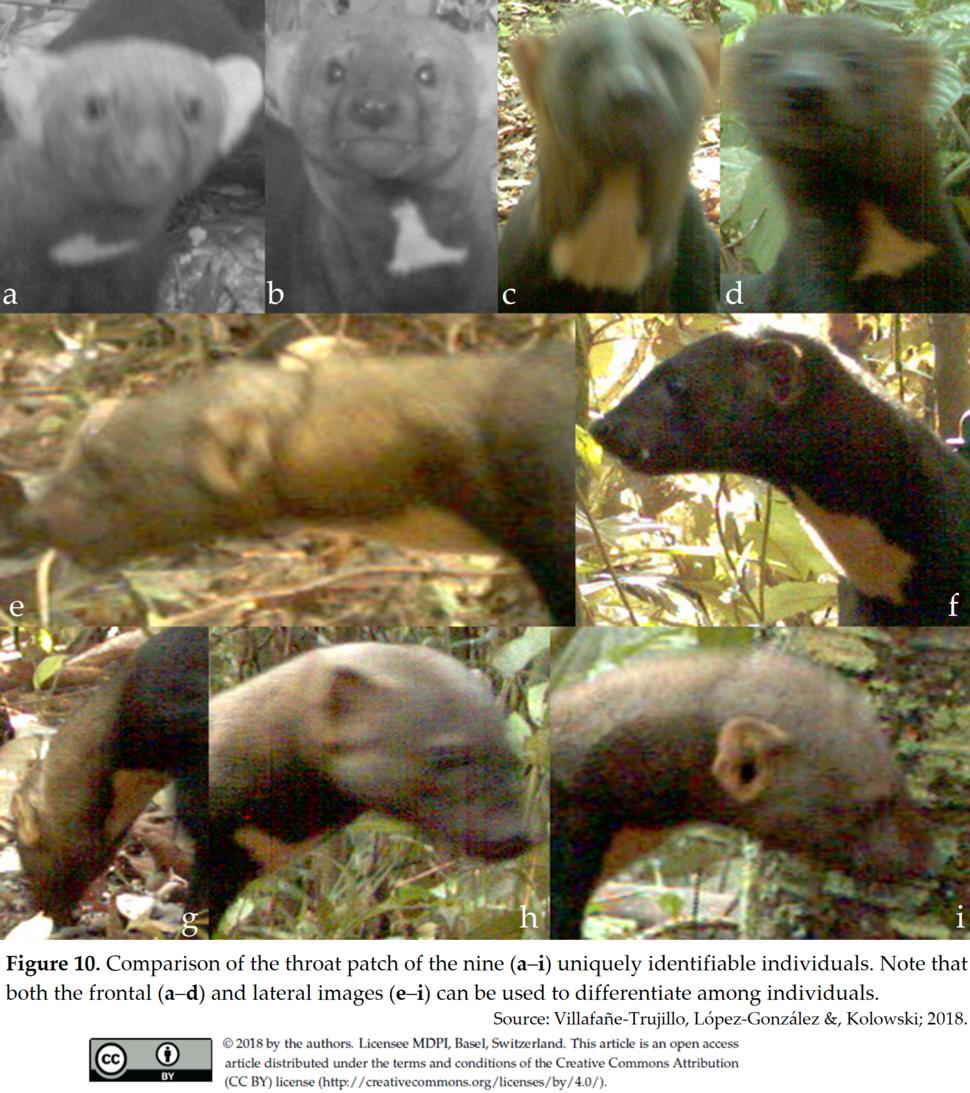Identified individuals of Eira barbara in the Peruvian Amazon