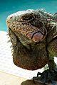 Iguana en piscina.jpg