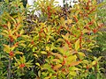 Ilex verticillata Maryland Beauty 0zz.jpg
