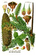 Illustration Abies alba0 clean.jpg
