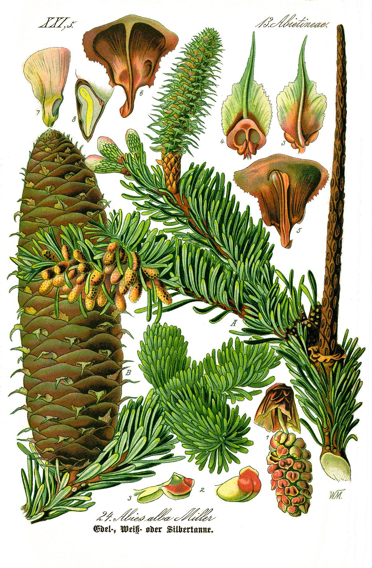 Abies alba wikip dia - Difference entre pin et sapin ...
