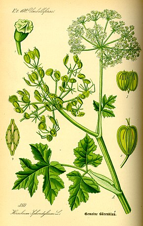 Description de l'image Illustration Heracleum sphondylium0.jpg.