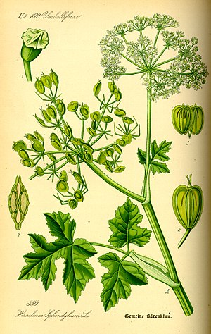 Silphium - Drawing of Heracleum sphondylium, showing its heart-shaped mericarp