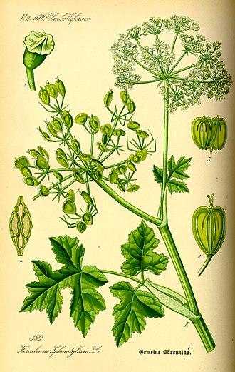 Heracleum sphondylium - Drawing of Heracleum sphondylium, showing the heart-shaped mericarp (fruit)