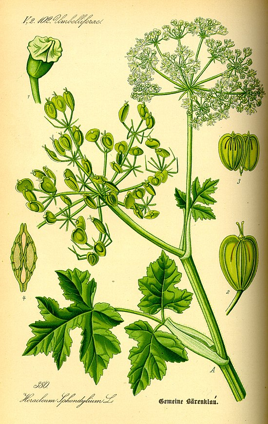 Растение похожее на рисунке