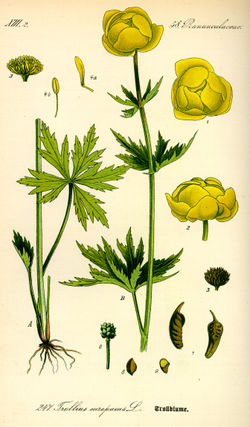Illustration Trollius europaeus0.jpg
