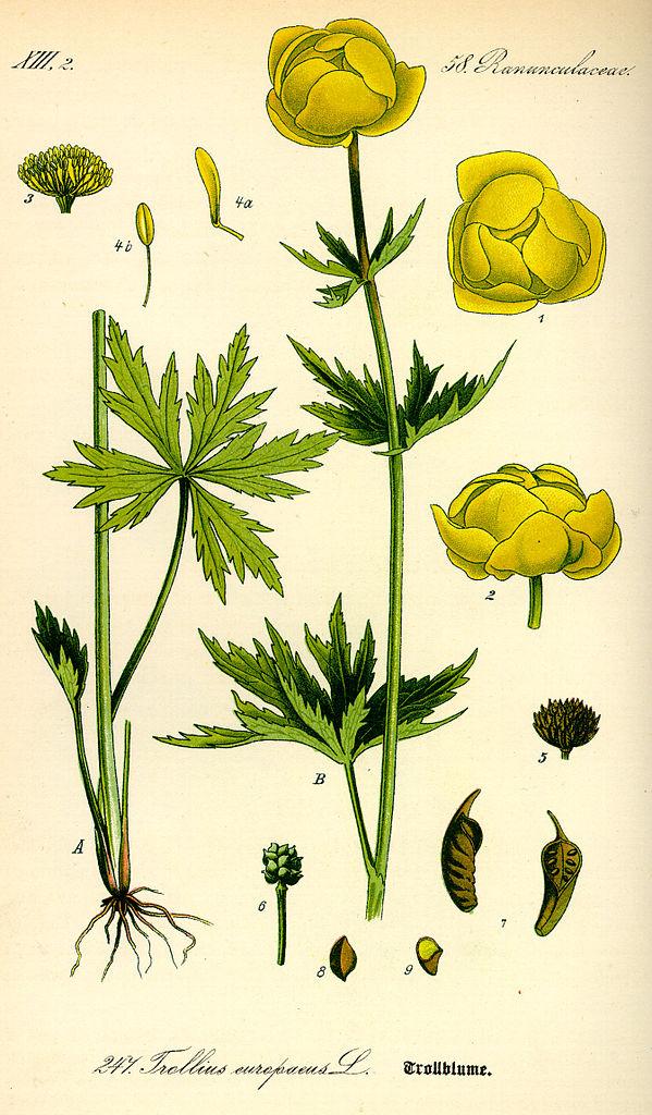 Žltohlav najvyšší (Trollius altissimus)