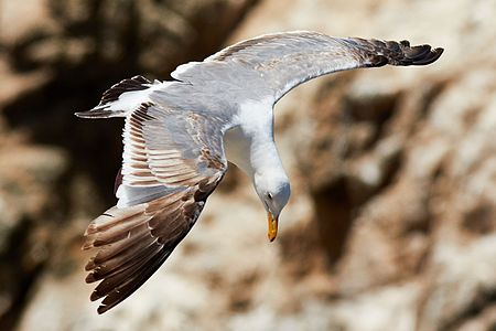"""Immature Western Gull (Larus occidentalis occidentalis) in flight at Bodega Head, California"""
