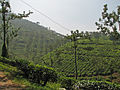 India - Kerala - 066 - tea estates (2078495534).jpg