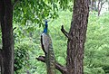 Indian Peafowl MALE.jpg