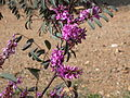 Indigofera australis (5061446074).jpg