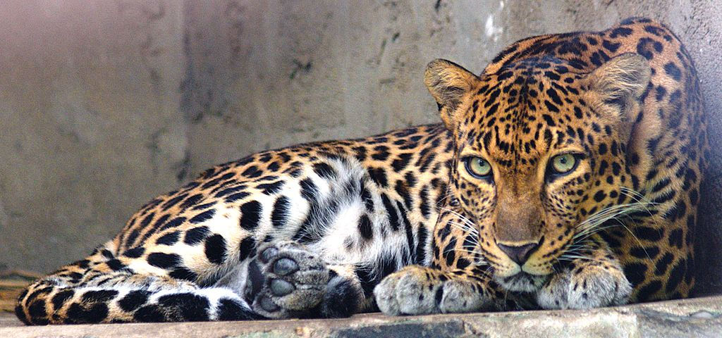 """Indochinese leopard"" by Tomáš Najer - BioLib. Licensed under CC BY-SA 4.0 via Wikimedia Commons - https://commons.wikimedia.org/wiki/File:Indochinese_leopard.jpg#/media/File:Indochinese_leopard.jpg"