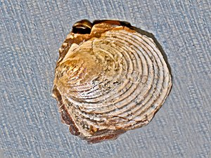 Inoceramus - Image: Inoceramidae Inoceramus proximus