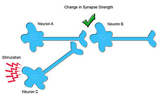 Heterosynaptic plasticity - In modulatory input-dependent plasticity, Neuron C acts as an interneuron, releasing neuromodulators, which changes synaptic strength between Neuron A and Neuron B.