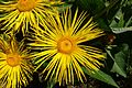 Inula magnifica - UBC Botanical Garden - Vancouver, Canada - DSC07784.jpg