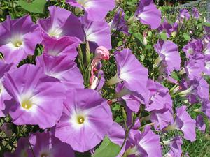 Ipomoea tricolor - Image: Ipomoea tricolor Wedding Bells 20071011 02