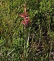 Iridaceae (Watsonia sp.) (32777239436).jpg