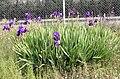 Iris × germanica general.jpg