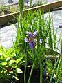 Iris aff.delavayi SIGNA 09SB137 sino-sibericae ^1, ex NARGS probably delavayi - Flickr - peganum (6).jpg