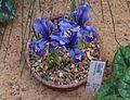 Iris reticulata 'Harmony' (3307536106).jpg